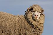 Sheep<br /> Volunteer Point, Johnson's Harbour, East Falkland Island. FALKLAND ISLANDS.