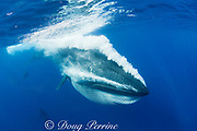 Bryde's whale, Balaenoptera brydei or Balaenoptera edeni, expels air and water from mouth through baleen plates after engulfing part of a baitball of sardines, Sardinops sagax, off Baja California, Mexico ( Eastern Pacific Ocean ); California sea lions chase sardines in background