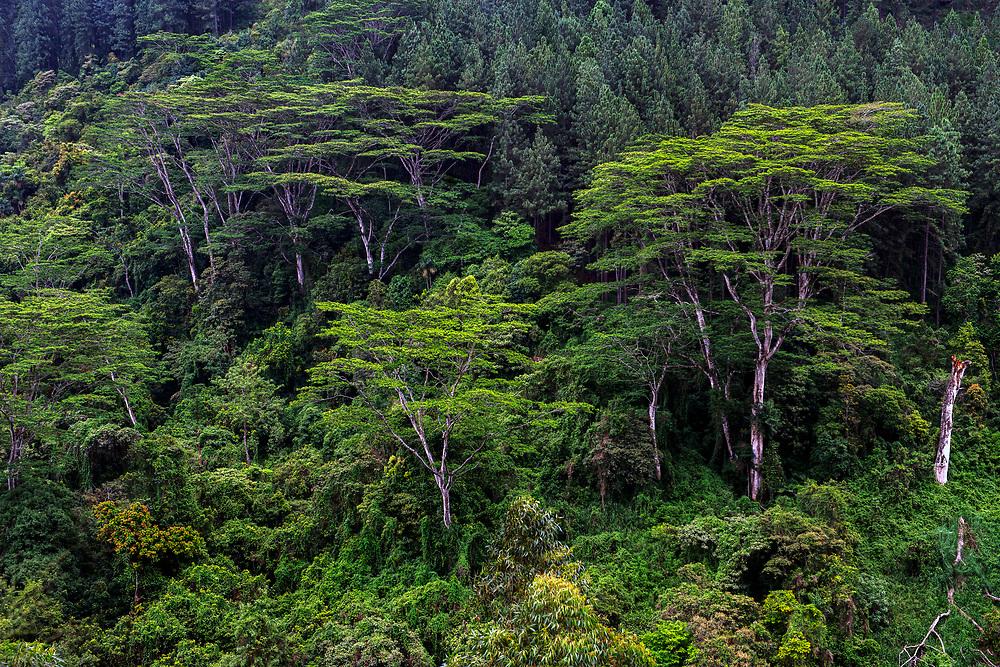 Forest near  Nuwara Eliya, or Little England, Sri Lanka