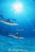 blacktip and Caribbean reef sharks, Carcharhinus limbatus, and Carcharhinus perezi, Walker's Cay, Abaco Islands, Bahamas ( Western Atlantic Ocean )