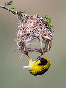 Village weaver (Ploceus cuccullatus) building nest.  Zimanga, South Africa.