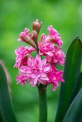Hyacinthus orientalis 'Eros Double'