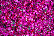 Rose petals for religious ceremonies at Mehrauli Flower Market, New Delhi, India