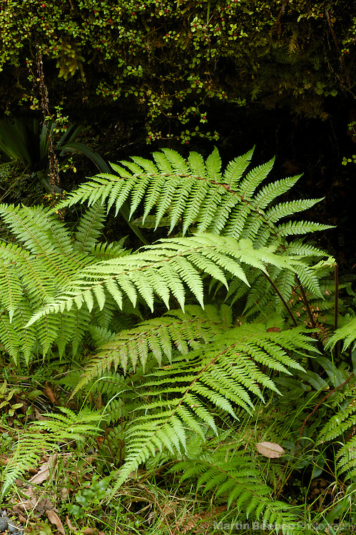 Young rough tree fern (Dicksonia squarrosa), Westland National Park, New Zealand