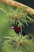 Siver-beaked Tanager<br />Ramphocelus carbo<br />Manu Cloud Forest, Manu National Park  PERU.  South America<br />Range: Colombia to Argentina