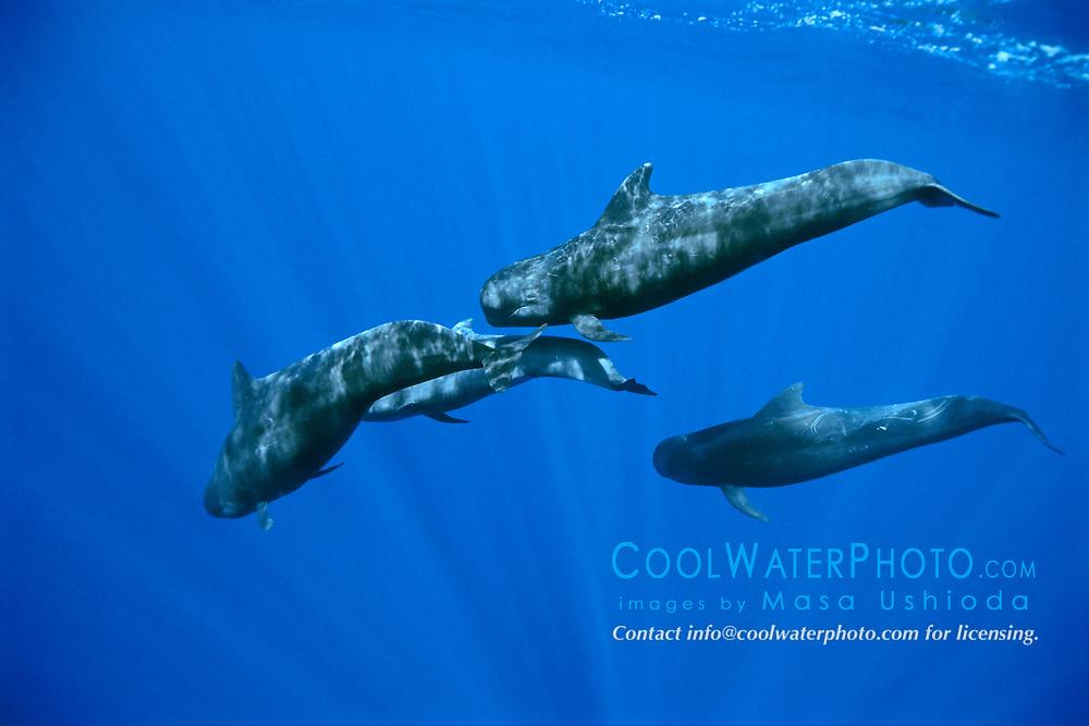 short-finned pilot whales, Globicephala macrorhynchus, juveniles, offshore, Kona Coast, Big Island, Hawaii, USA, Pacific Ocean