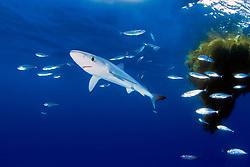 blue shark pup, Prionace glauca, with school of jack mackerel, Trachurus symmetricus, under drifting kelp pad, off San Diego, California, East Pacific Ocean