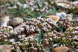 English Stonecrop. Sedum anglicum
