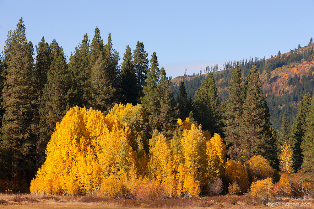 Several Quaking Aspens (Populus tremuloides) display their golden fall color in a valley in the Wenatchee National Forest of Washington state.