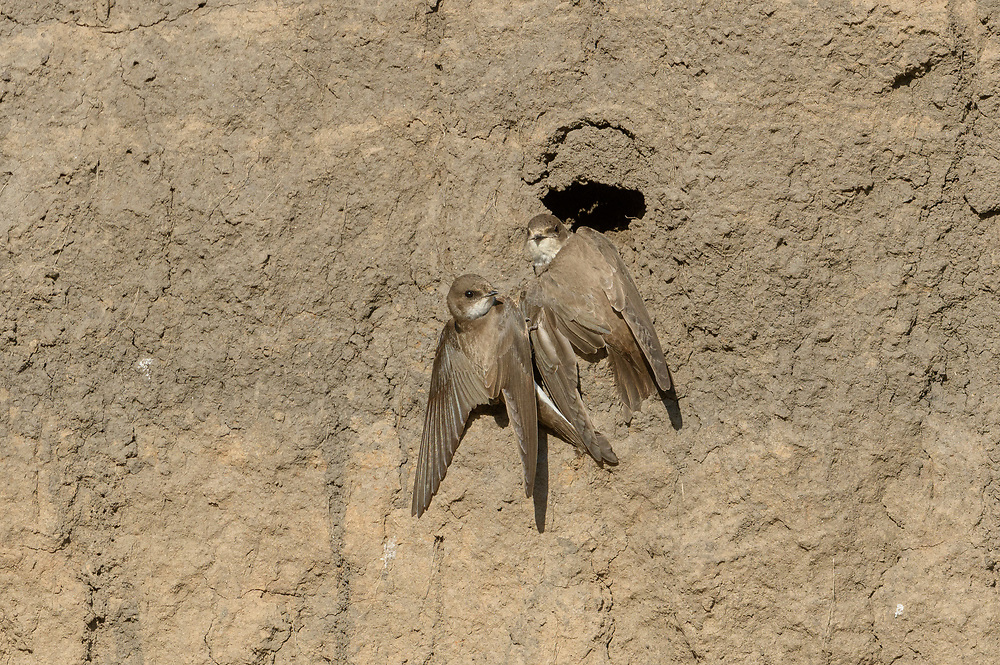 Sand martins (Riparia riparia) digging nest hole in sand bank.  River Tame, Reddish Vale Country Park, Greater Manchester, UK.