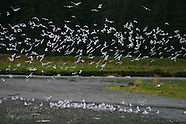 13: INSIDE PASSAGE BARANOF ISLAND BIRDS