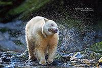 White kermode spirit bear in the Great Bear Rainforest, BC, Canada