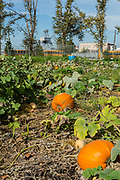 Pumpkins in a field at the Red Hook Community Farm. In the distance is a preserved crane from the old Red Hook marine terminal.