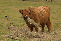 Highland cattle eating hay at heritage farm park