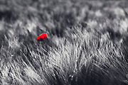 Red poppy in a field of barley - desaturated photograph edited with texture overlays