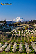 Fruit orchards in full bloom with Mount Adams in Hood River, Oregon, USA