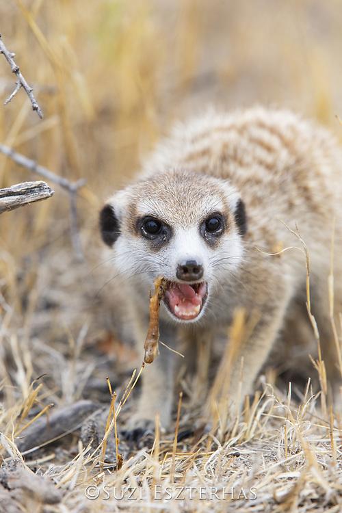 Meerkat<br /> Suricata suricatta<br /> adult eating scorpion<br /> Makgadikgadi Pans, Botswana