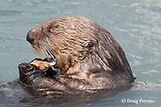sea otter, Enhydra lutris ( Endangered Species ), eating mussel, Valdez, Alaska ( Prince William Sound )