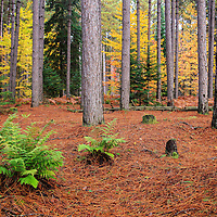 """""""Pine Forest in Autumn""""<br /> <br /> Beautiful pine forest in Michigan's Upper Peninsula during autumn!!<br /> <br /> Autumn Landscapes by Rachel Cohen"""