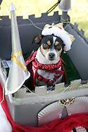 31st October 2009. Long Beach, California. The Haute Dog Howl'oween Parade in Long Beach. Pictured is Peanut  the Rat Terrier dressed as the King of the castle. PHOTO © JOHN CHAPPLE / www.chapple.biz.john@chapple.biz  (001) 310 570 9100.