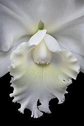 Cattleya, white #1