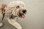 owner's point of view of a fluffy dog on a leash running beside on the beach
