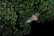 Common Pipistrelle Pipistrellus pipistrellus Wingspan 18-24cm Small bat with sleek, fluffy fur that is rich grey-brown above and buffish brown below. Note the dark 'bandit' mask and dark, oval ears with 4-5 transverse folds on the outer edge. People with good hearing can sometimes detect their high-pitched contact calls and Common Pipistrelles echolocate at around 45khz. Widespread and common in woods and gardens, with a fluttery flight. Summer roosts are often in roofs of modern houses.