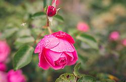 THEMENBILD - Tautropfen auf einer pinken Rose, aufgenommen am 29. September 2019, Piesendorf, Österreich // Dew drops on a pink rose on 2019/09/29, Piesendorf, Austria. EXPA Pictures © 2019, PhotoCredit: EXPA/ Stefanie Oberhauser