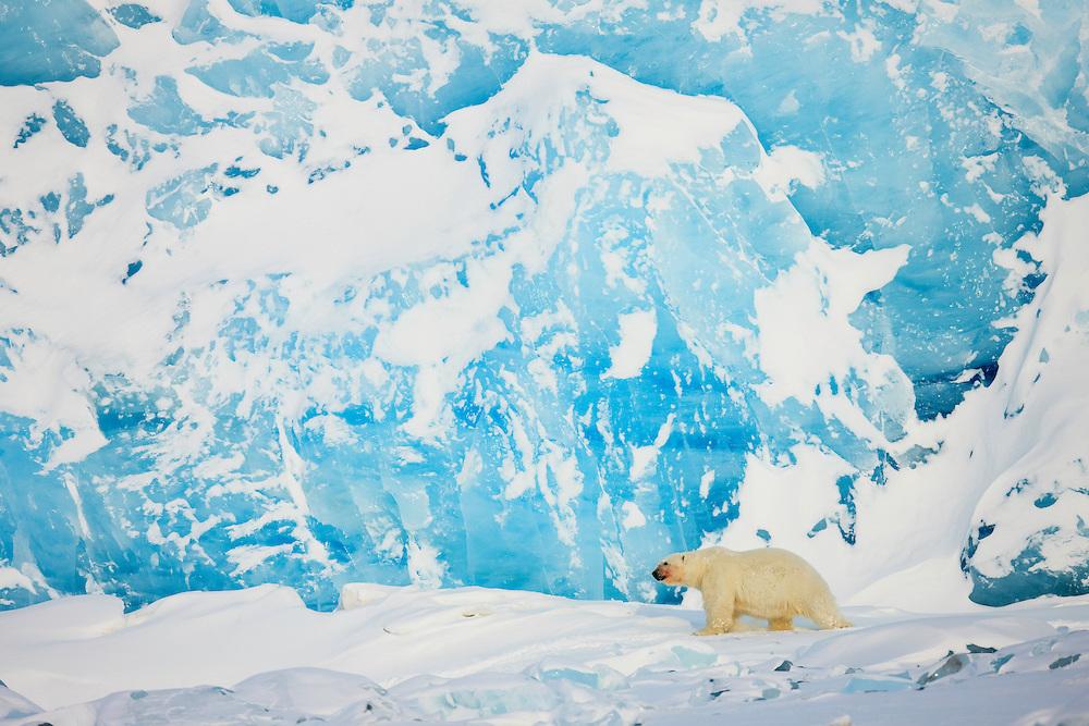 Animals; Arctic; Arktis; Bear; Bears; Bjørner; Carnivora; Carnivores; Dyr; ENG-ANIMALS-EU_ver03/01/2009_©NATURFOKUS; Europa; GEOGRAFI; Glacier; Ice; Isbjørn; Isbre; Isdekke; LAND/BYER/STEDER; LANDSKAP; Land; Mammals; NO-ANIMALS-EU_ver03/01/2009_©NATURFOKUS; NO-GENERELL_ver21/04/2009_@NATURFOKUS; Norge; Norway; Pattedyr; Polar bear; Rovdyr; Skandinavia; Slettemappe; Snow; Snø; Spitsbergen; Svalbard; Ursidae; Ursus maritimus; VILLE DYR; VÆR; WEATHER; WWE; Wildlife
