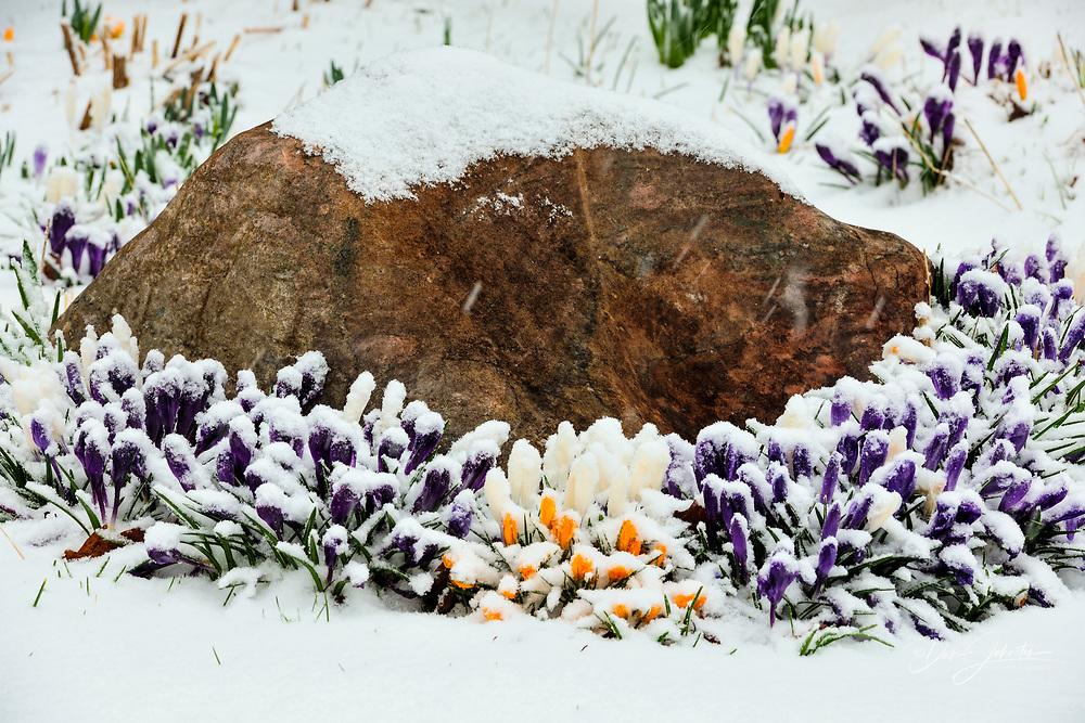 Gallie/McCreath Residence gardens- Crocuses amd snowstorm, Greater Sudbury, Ontario, Canada