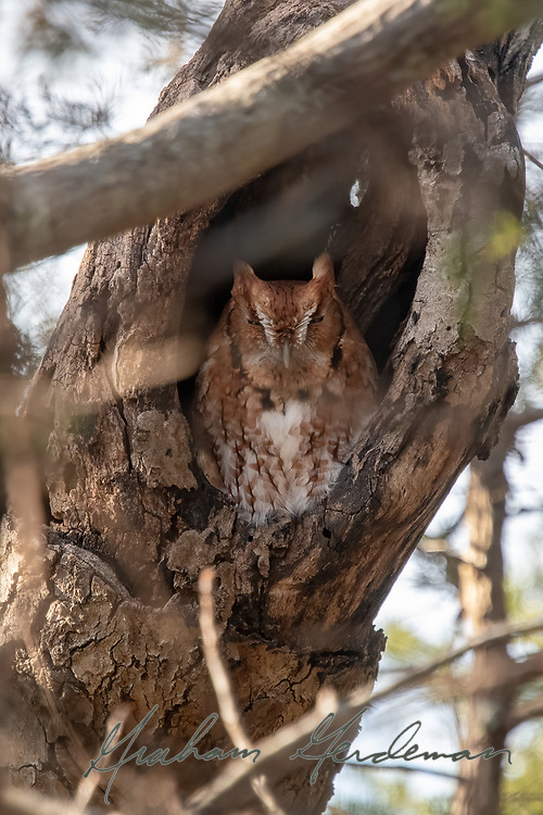 An Eastern Screech Owl (Red Morph) looks out from its day roost in Nashville, TN.