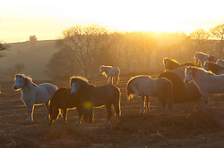 © Licensed to London News Pictures. 24/02/2019. Brecon, Powys, Wales, UK. Welsh mountain ponies are seen after a beautiful spring-like day as the sun sets over moorland near Brecon in Powys, Wales, UK. Photo credit: Graham M. Lawrence/LNP