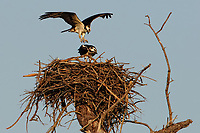 Osprey pair about to mate. Fort De Soto Park in Pinellas County, Florida. Image taken with a Nikon D300 camera and 300 mm f/2.8 telephoto lens with a TC-E 20 teleconverter (ISO 400, 600 mm, f/8, 1/1000 sec).