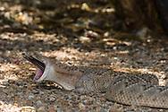 A Western Diamondback rattlesnake (Crotalus atrox) swallowing a Morning Dove (Zenaida macroura) that it caught. (Arizona)