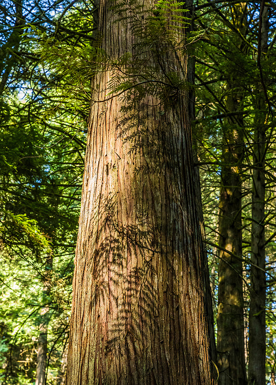 Cedar Tree Shadows along the Twin Lakes Trail in Moran State Park, Orcas Island, Washington, USA.