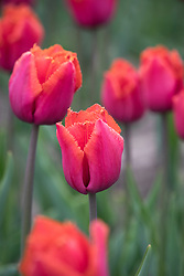Tulipa 'Louvre Orange'