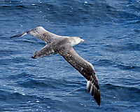 Northern Giant-Petrel (Macronectes halli). South Atlantic Ocean. Viewed from the deck of the Hurtigruten MS Fram. Image taken with a Nikon Df camera and 80-400 mm lens.