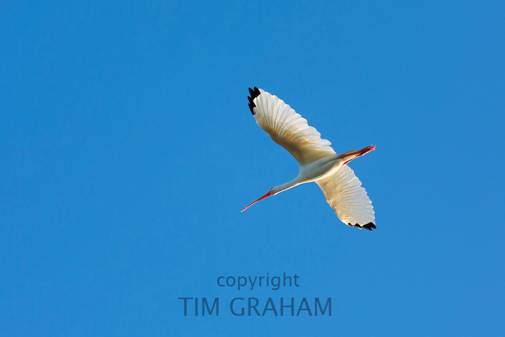 American White Ibis, Eudocimus albus, with wide wingspan in flight soaring over wetlands on Captiva Island, Florida USA