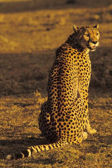 Cheetah, (Acinonyx jubatus) Portrait of adult.Serengeti Plains. Masai Mara National Reserve. Kenya.