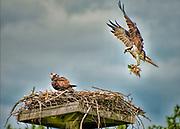 Seabirds of Long Island Sound. Osprey and babies.