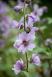 Lavatera x clementii 'Lavender Lady'. Mallow