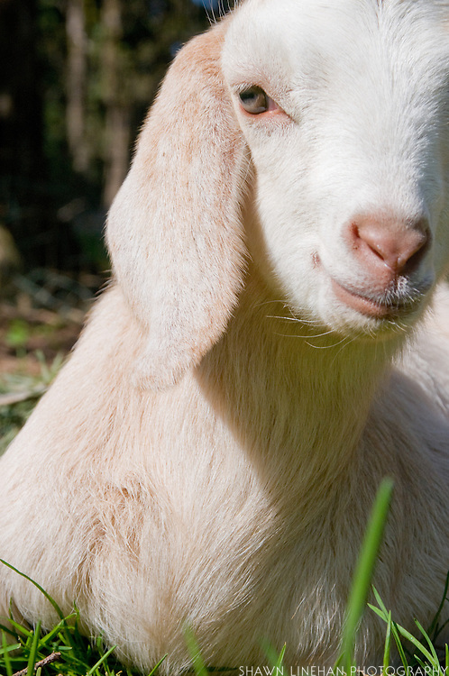 A baby goat rests in the grass after running, jumping and playing with it's cousins. It lives on a small backyard farm in Portland, Ore.