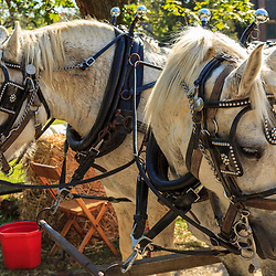 Lancaster, PA - October 12, 2012: A pair of draft horses at the Landis Valley Village & Farm Museum in Lancaster County, PA.