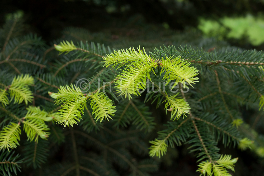 Green shoots of recovery as a pine tree sprouts new growth during springtime. Kew Gardens.