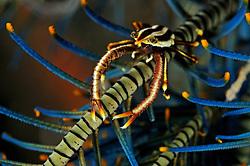 Allogalathea elegans, Springkrabbe auf Haarstern, squat lobster on feather star, crinoid, Bali, Indonesien, Indopazifik, Bali, Indonesia Asien, Indo-Pacific Ocean, Asia
