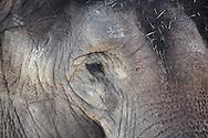 an Asian Elephant's (Elephas maximus) wrinked and time-painted skin wrinked and time-painted skin
