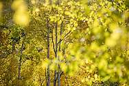 Fall foliage and scenery along the Ditch Trail in Snowmass Village, Colorado.