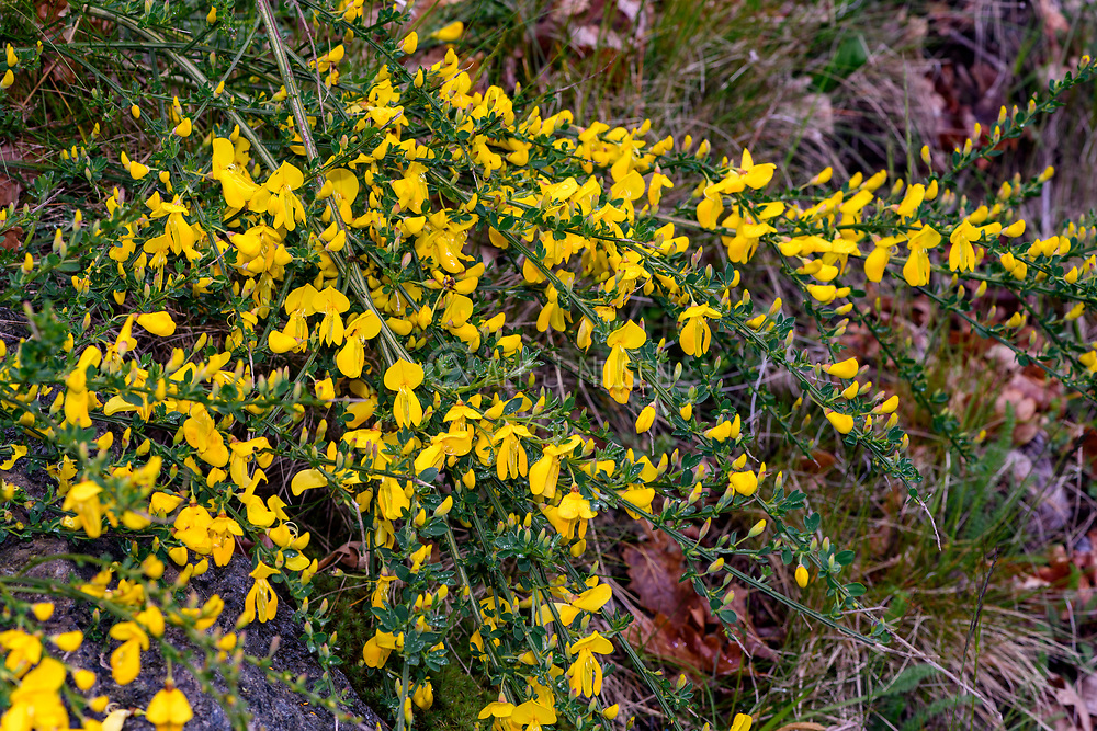 Common broom (Cytisus scoparius) from Hidra, south-western Norway in May.
