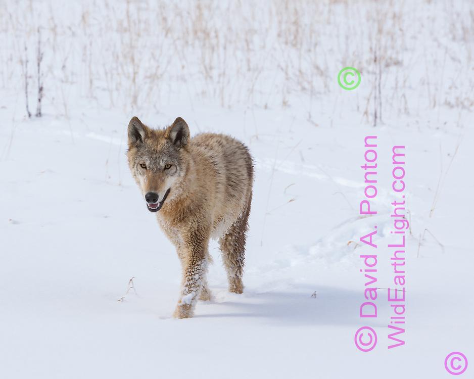 Young wolf walks in fresh snow, Montana, © David A. Ponton