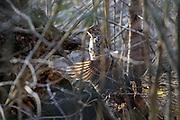 Male Ruffed grouse on drumming log.